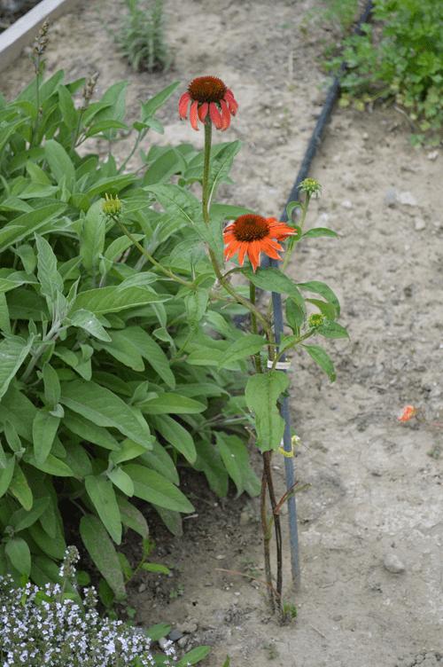 grannie geek echinacea-coneflower sundown