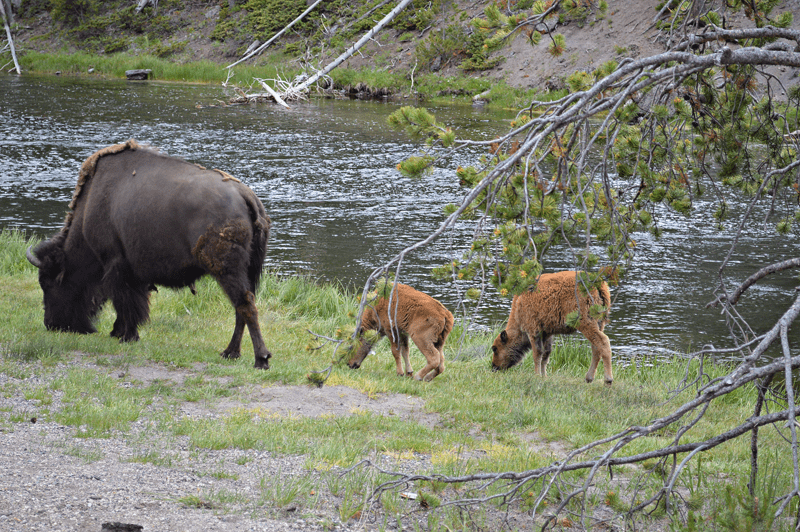 grannie geek, buffalo calves near Firehole river, yellowstone